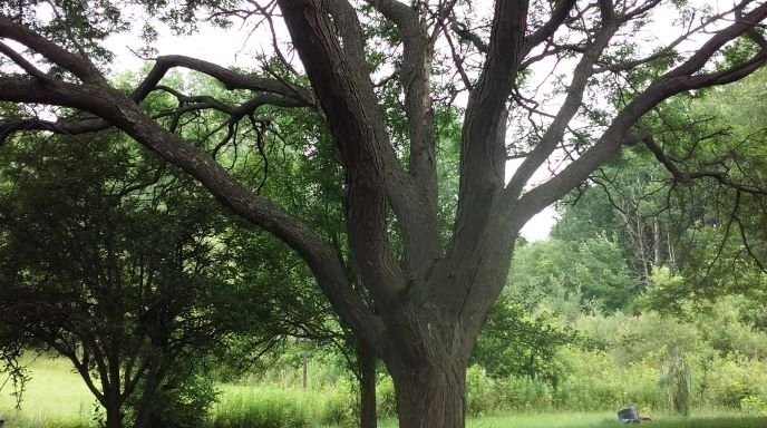 resized-locust-tree-before-picture-072221