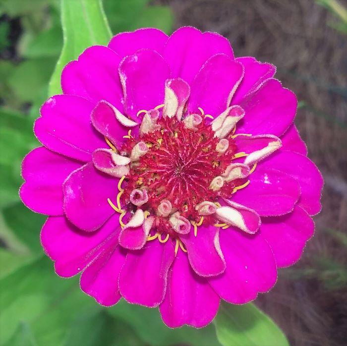 resized pink zinnia 070421