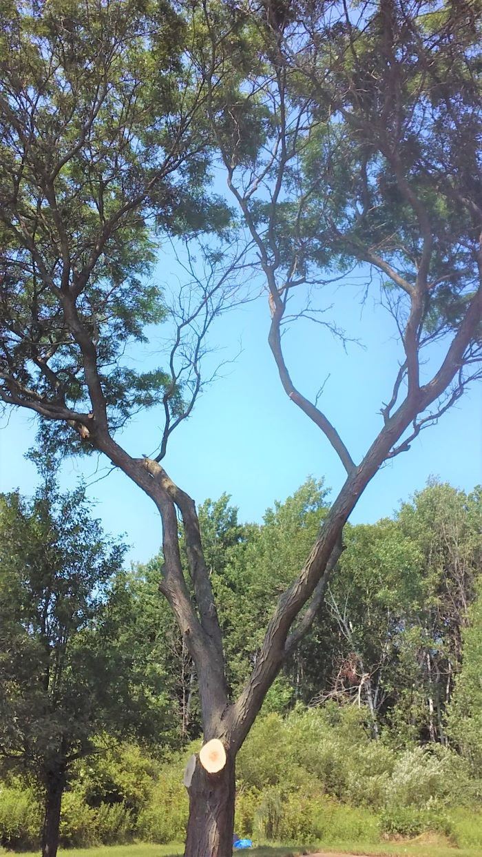 resized trimmed locust tree 072721