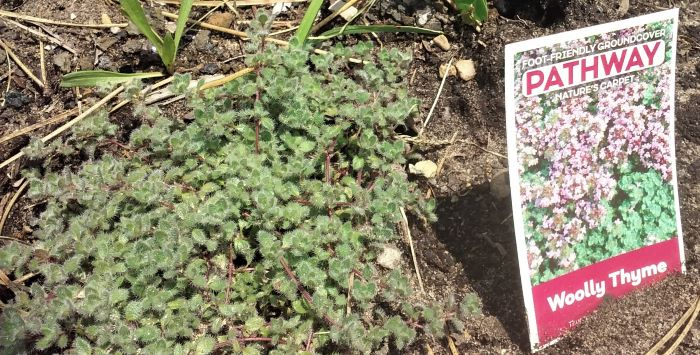 resized wooly thyme 070221