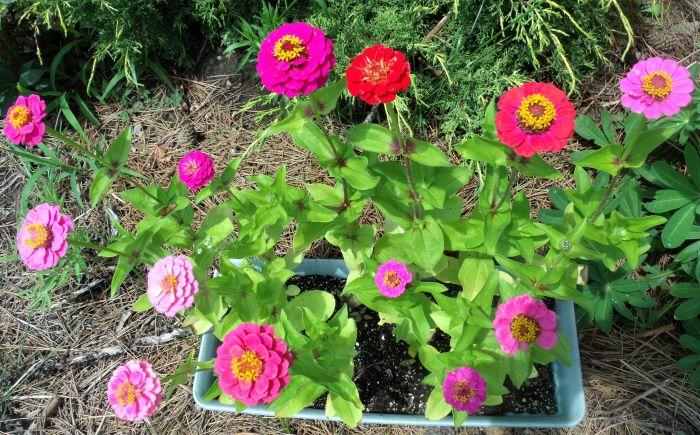 resized zinnias in full bloom 071321