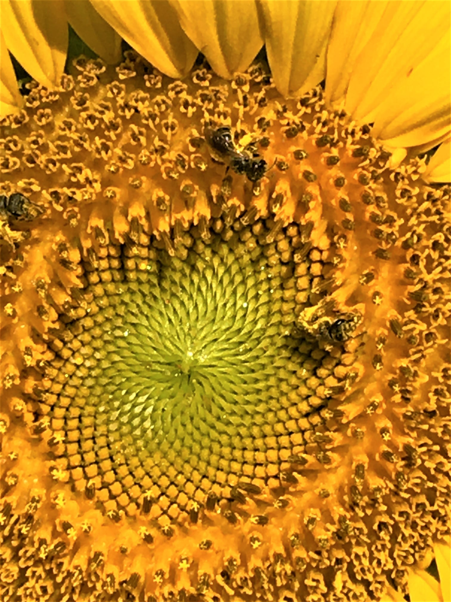 dwight roth sunflower pic