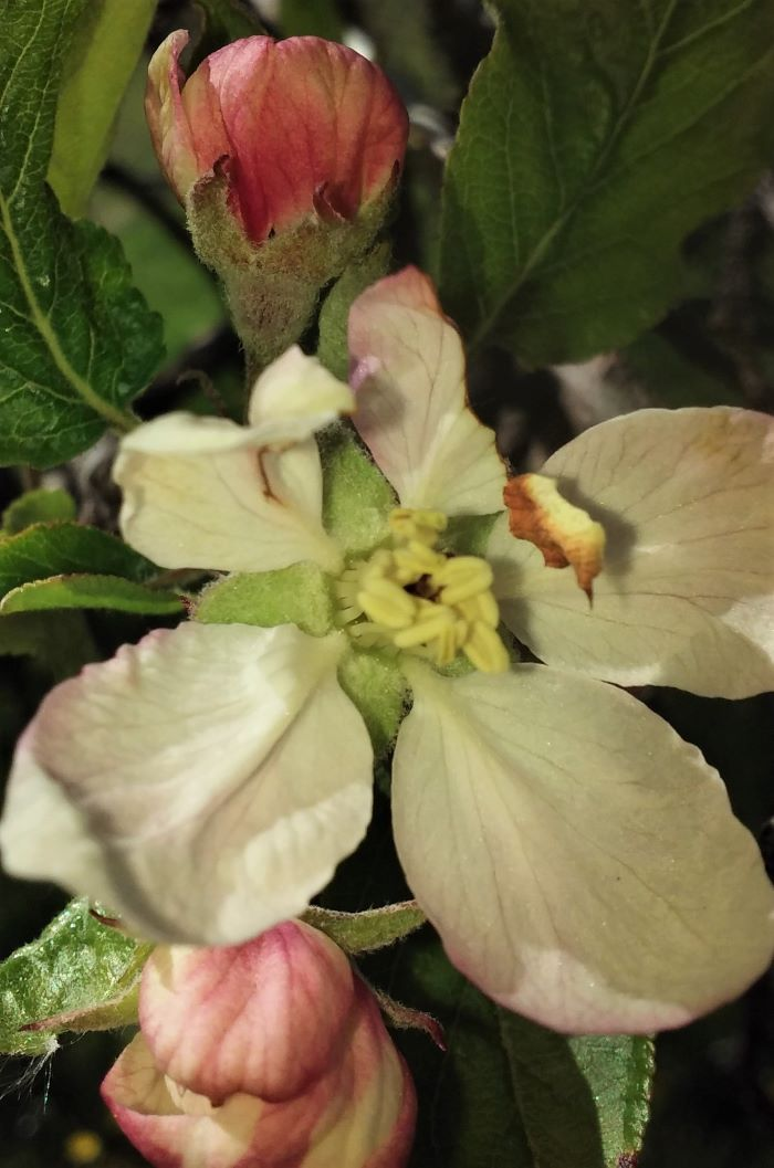 resized apple blossoms may 2021