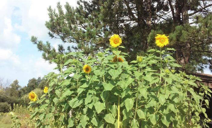 resized mammoth sunflowers 081821