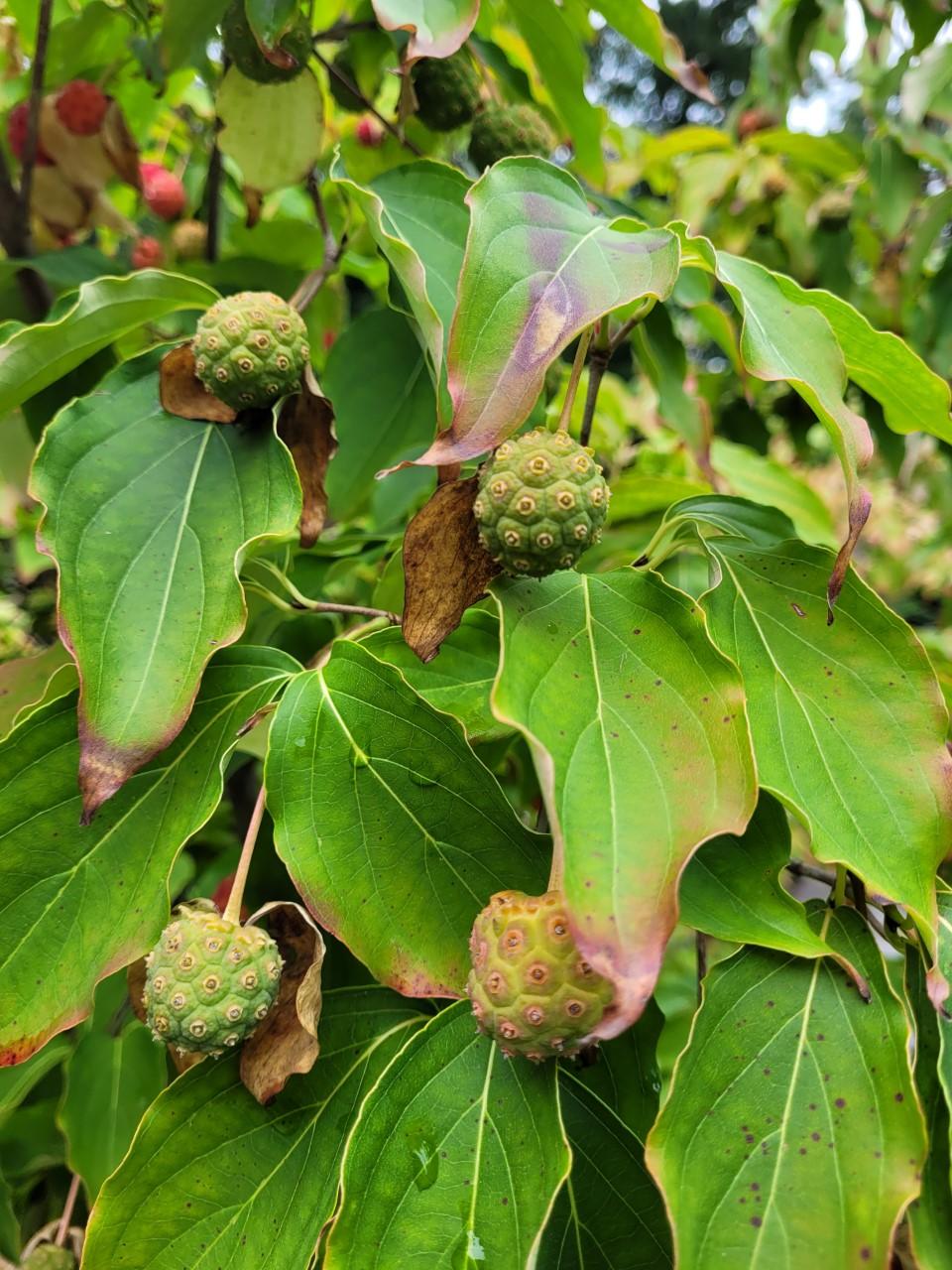 kousa dogwood fruit 2