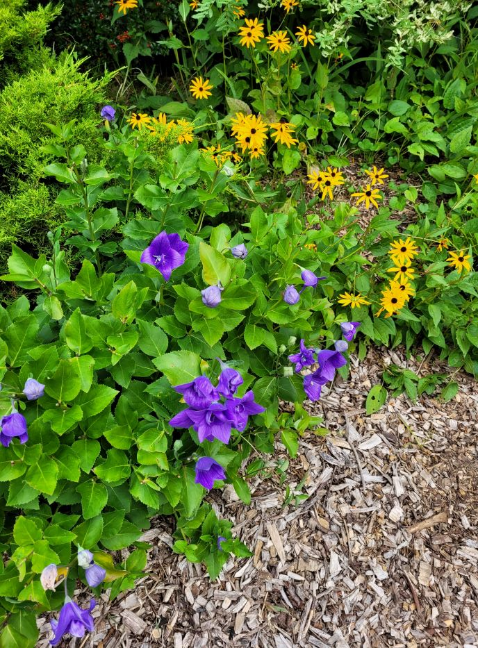 resized balloon flowers and brown eyed susans 0921