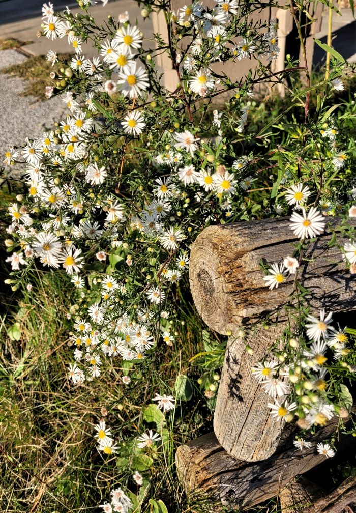 resized chamomile in the sun 092921
