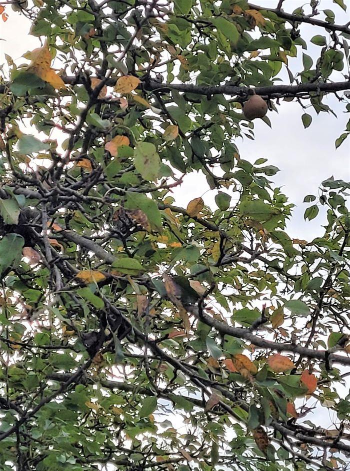 resized pear in tree 092121