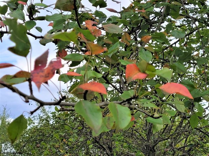 resized pear leaves 092121