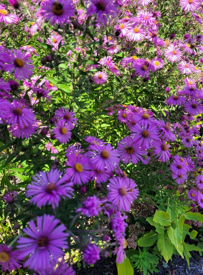 resized purple daisies not sure real name at library 091521