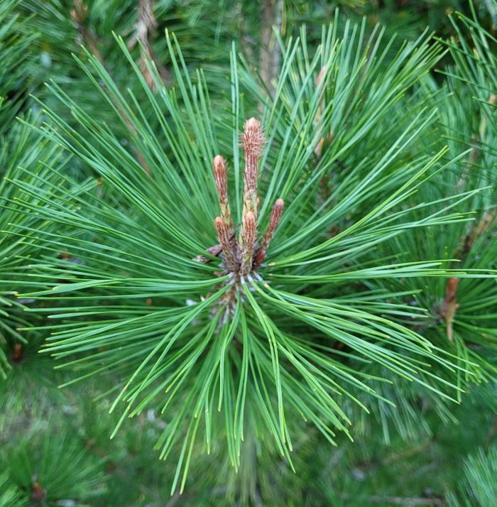 resized red pine halo of needles 092921