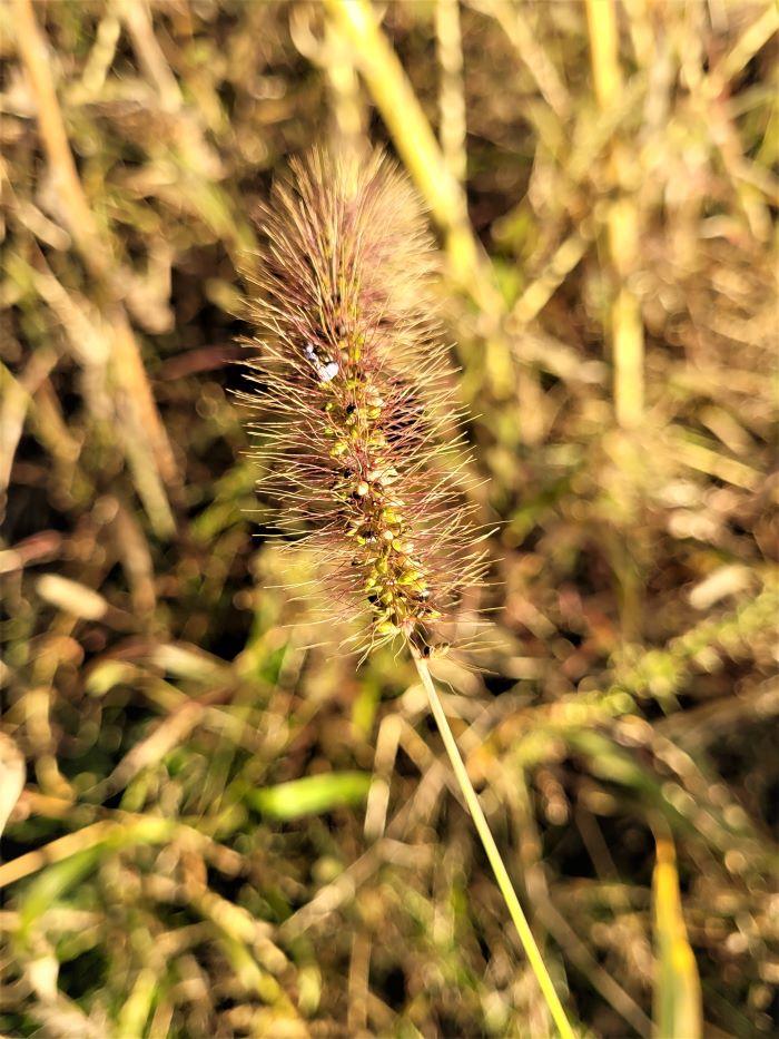 resized tall grass stalk 092921