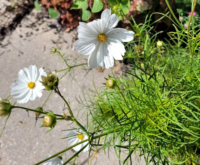 resized white cosmos at library 091521