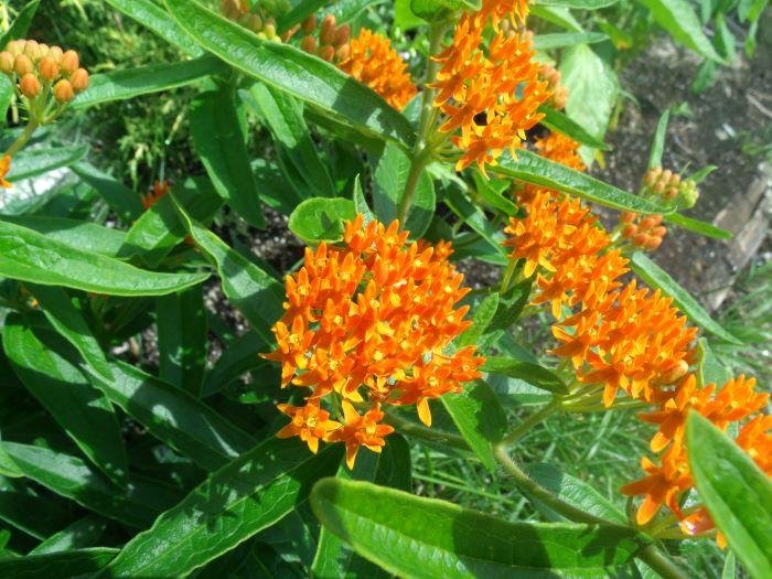 resized butterfly milkweed plant 071321