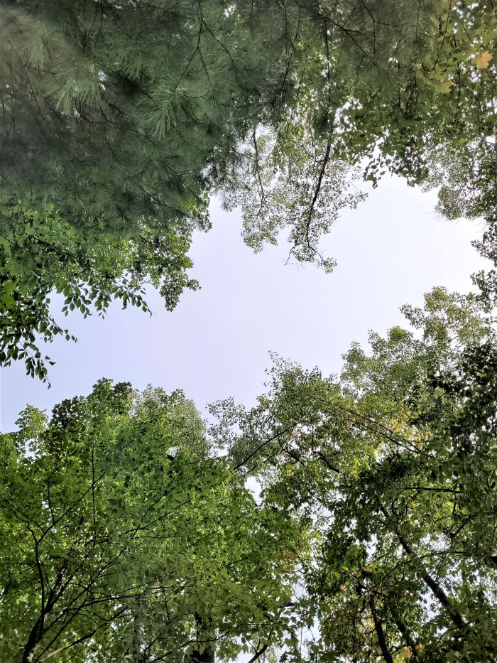 resized looking up at the trees 100221
