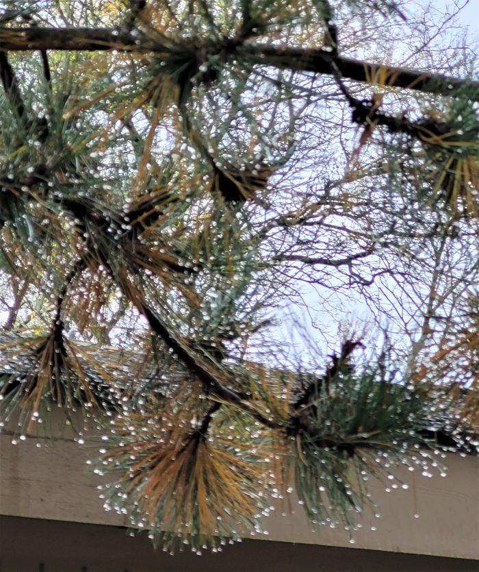 resized raindrops on pine needles 100821